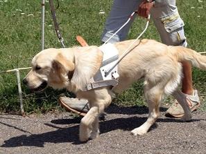 Куче водач - голдън ретривър
